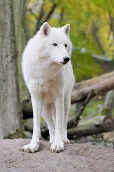 Weißer wolf im wald