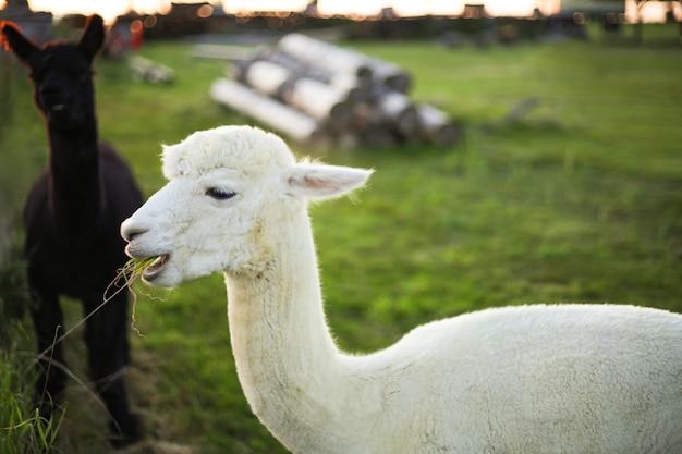 Weißes alpaka auf dem bauernhof, abendlichter. bauernhof, landleben. nahaufnahme.