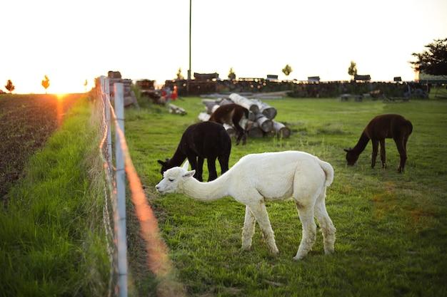 Weißes alpaka auf dem bauernhof, abendlichter. bauernhof, landleben.