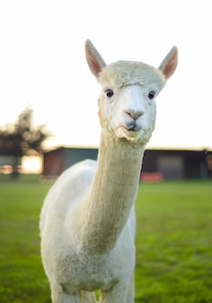 Weißes alpaka auf der farm, blick in die kamera, lichter bei sonnenuntergang. bauernhof, landleben. nahaufnahme.