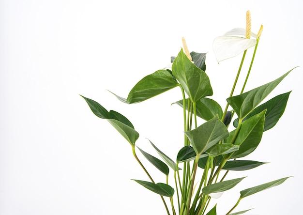 Weißes anthurium. topf zimmerpflanze auf einem isolierten hintergrund. speicherplatz kopieren
