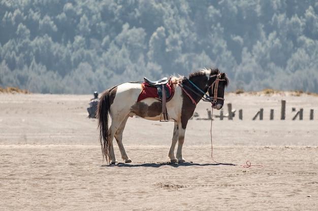 Weißes braunes seitenpferd, das auf wüste steht