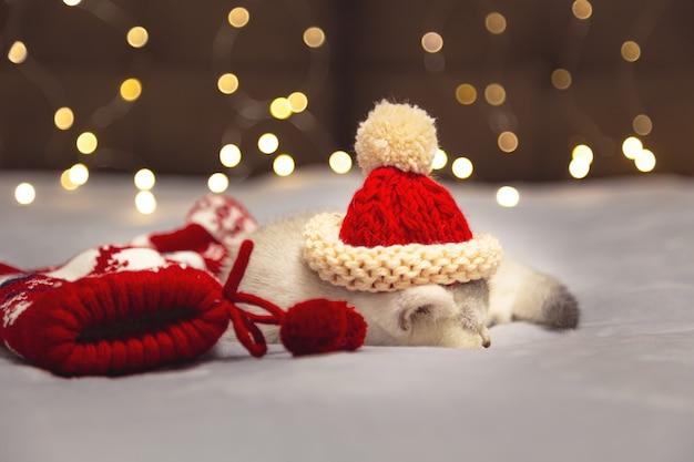 Weißes britisches kätzchen in einer weihnachtsmütze, das auf einer decke liegt. festliche stimmung.