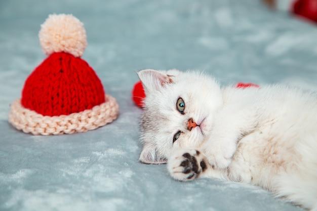 Weißes britisches kätzchen spielt auf einer grauen tagesdecke mit einer roten kappe. weihnachtsaccessoires - roter schal und gestrickte weihnachtsmütze.