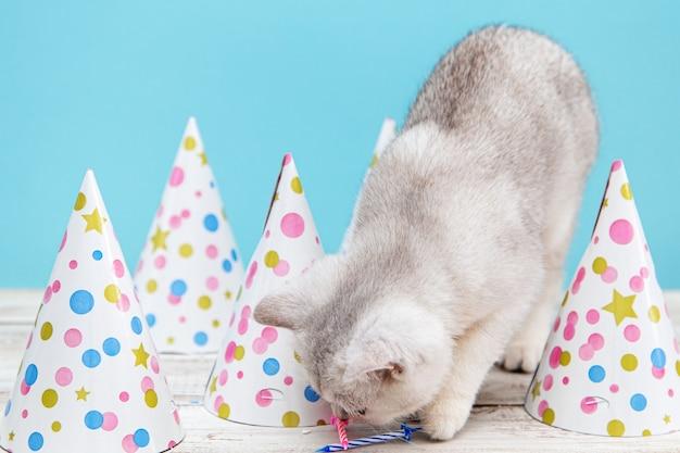 Weißes britisches kätzchen und feiertagskappen auf blauem hintergrund. feiertags- und geburtstagskonzept.