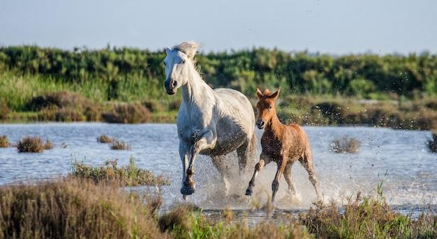 Weißes camargue-pferd mit fohlen läuft im naturschutzgebiet der sümpfe