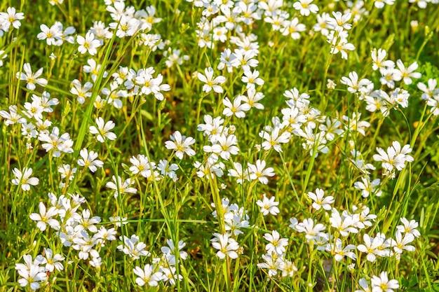 Weißes feld blüht an einem sonnigen tag