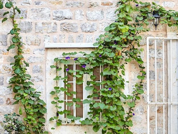 Weißes fenster. grüne efeupflanze klettern auf alte weiße steinmauer