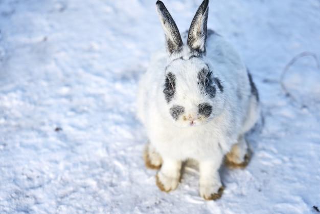 Weißes flaumiges kaninchen, das auf die fütterung auf schnee wartet