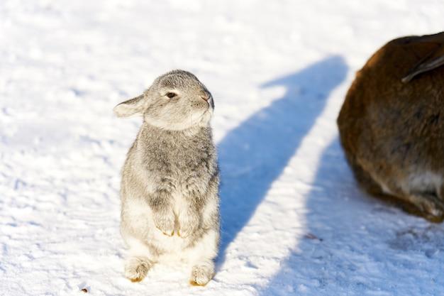 Weißes flaumiges kaninchen, das für die aufwartung steht, um auf schnee einzuziehen