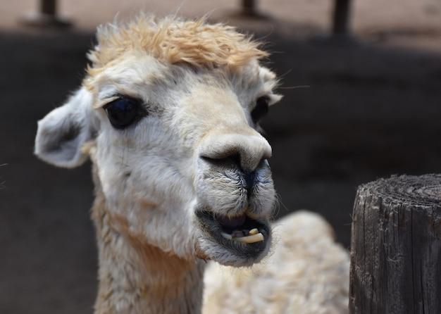 Weißes, flauschiges alpaka, das mit seinen unteren zähnen kaut