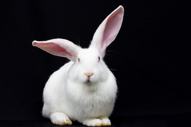 Weißes flauschiges kaninchen auf schwarzem hintergrund