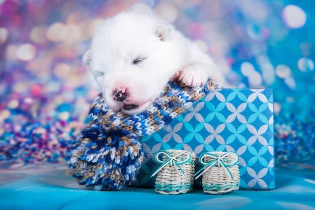 Weißes flauschiges kleines samojeden-hündchen in einer weihnachtsgeschenkbox