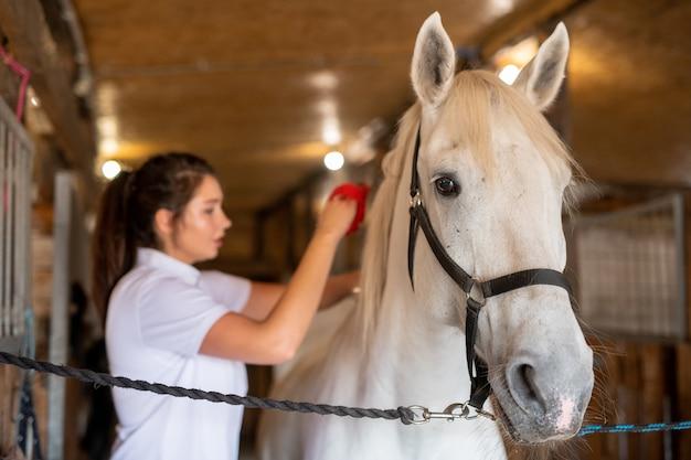 Weißes junges reinrassiges rennpferd, das vor der kamera im stall steht, während weibliche pflegekraft ihren rücken bürstet