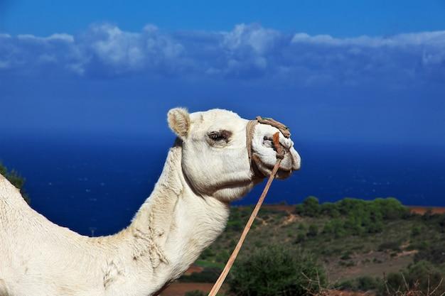 Weißes kamel auf mittelmeerküste in algerien, afrika