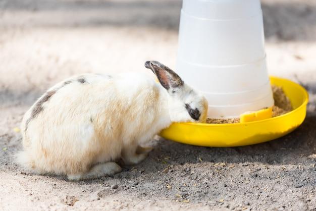 Weißes kaninchen, das lebensmittel von der zufuhr isst.