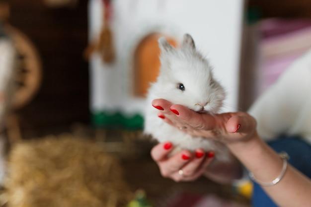 Weißes kaninchen in den frauenhänden an unscharfem innenraum.