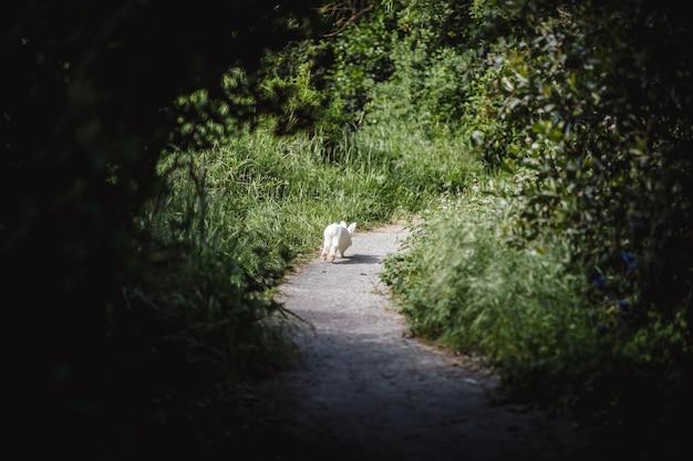 Weißes kaninchen läuft auf dem weg