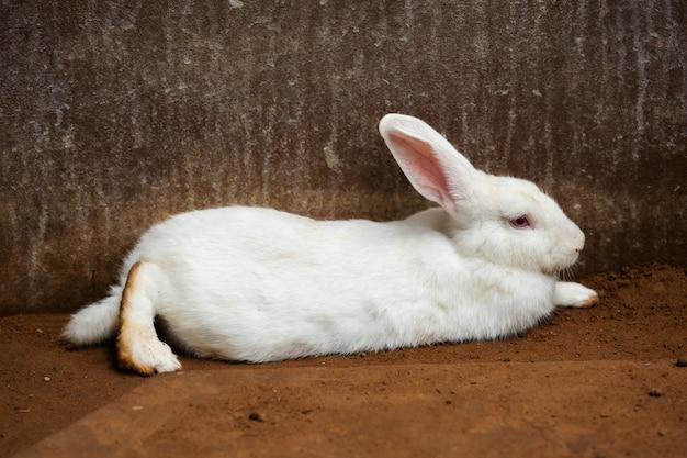 Weißes kaninchen oder hase oder hase, die auf boden ruhen