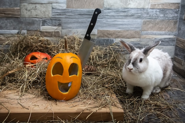 Weißes kaninchen schaut auf ein messer, das im kopf eines halloween-kürbisses steckt