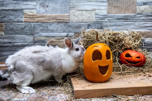 Weißes kaninchen studiert kürbisse für halloween rote und gelbe jack o laternen auf einem holzbrett a