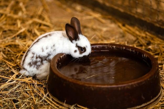 Weißes kaninchen trinkt wasser