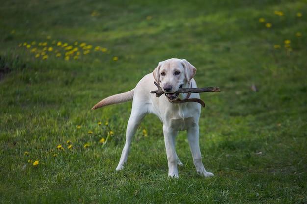 Weißes labrador mit stock in den zähnen auf gras
