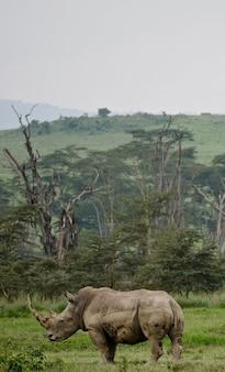 Weißes nashorn im see nakuru - kenia