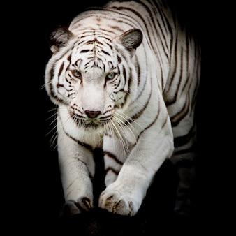 Weißes tigerspringen lokalisiert auf schwarzem hintergrund