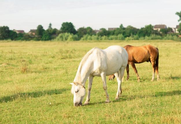 Weißes und braunes pferd lassen auf sommerweide weiden