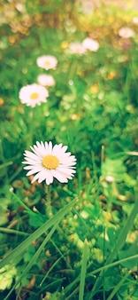 Weißes und gelbes gänseblümchen blühen während des tages, selektive fokushintergrundunschärfe