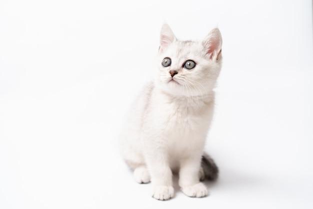 Weißes und graues kätzchen auf weißem hintergrund, isoliert. foto in hoher qualität