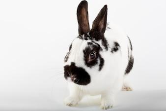 Weißes und schwarzes kaninchen