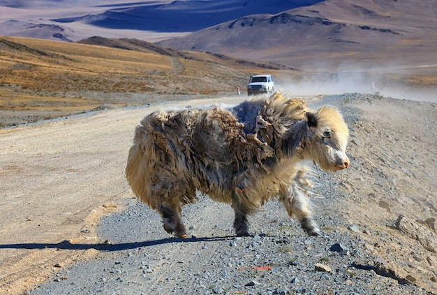 Weißes yak mit sehr schmutziger wolle bleibt in der nähe einer straße, mongolei