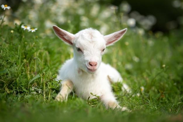 Weißes ziegenbaby, das auf grünem gras mit gelben blumen steht