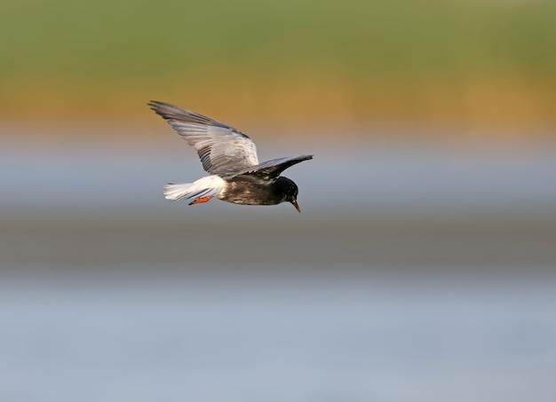 Weißflügelseeschwalbe (chlidonias leucopterus oder chlidonias leucoptera) im flug geschossen
