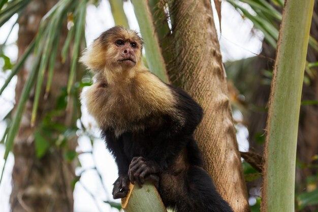 Weißgesichtiger kapuzineraffenwald in costa rica, mittelamerika