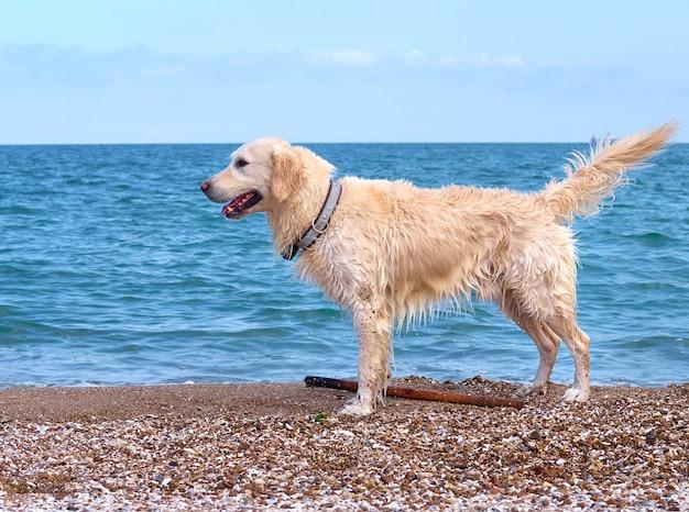 Weißgoldener labrador retriever hund am strand