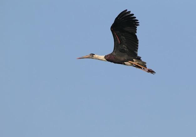 Weißhalsstorch im flug gefilmt auf blauem himmel
