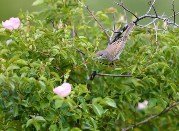Weißkehlchen (curruca communis) in ungewöhnlicher position auf einen blühenden rosenbusch geschossen