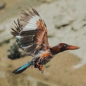 Weißkehliger eisvogel im flug