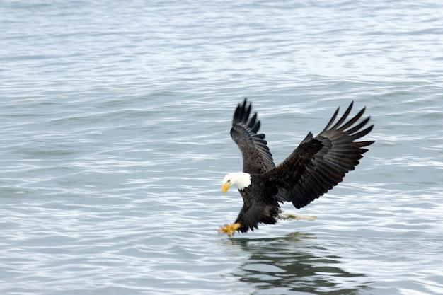 Weißkopfseeadler angeln