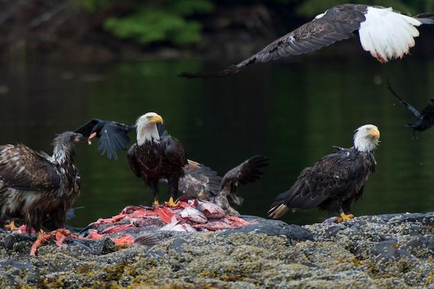 Weißkopfseeadler, die auf fischkarkasse, regionalen bezirk skeena-königin charlotte, haida gwaii, graham i einziehen
