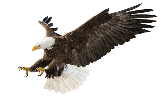 Weißkopfseeadler fliegende swoop-angriffshand zeichnen und malen farbe auf weißer hintergrundillustration Premium Fotos