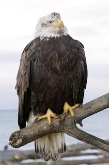 Weißkopfseeadler gehockt auf niederlassung