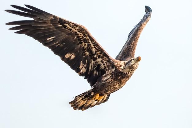 Weißkopfseeadler im flug auf lokalisiertem hintergrund, nahaufnahme des weißkopfseeadlers im flug im blauen himmel