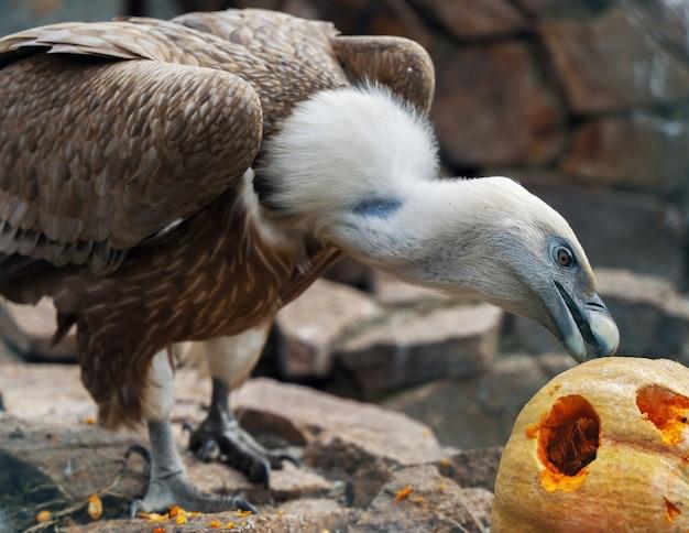 Weißkopfseeadler isst kürbis