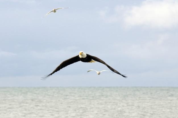 Weißkopfseeadler und seemöwen, die über wasser fliegen