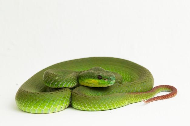 Weißlippige grüne grubenotterschlange auf weiß