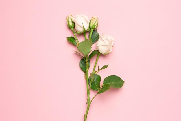 Weißrosenblume auf rosa hintergrund mit kopienraum für ihren text